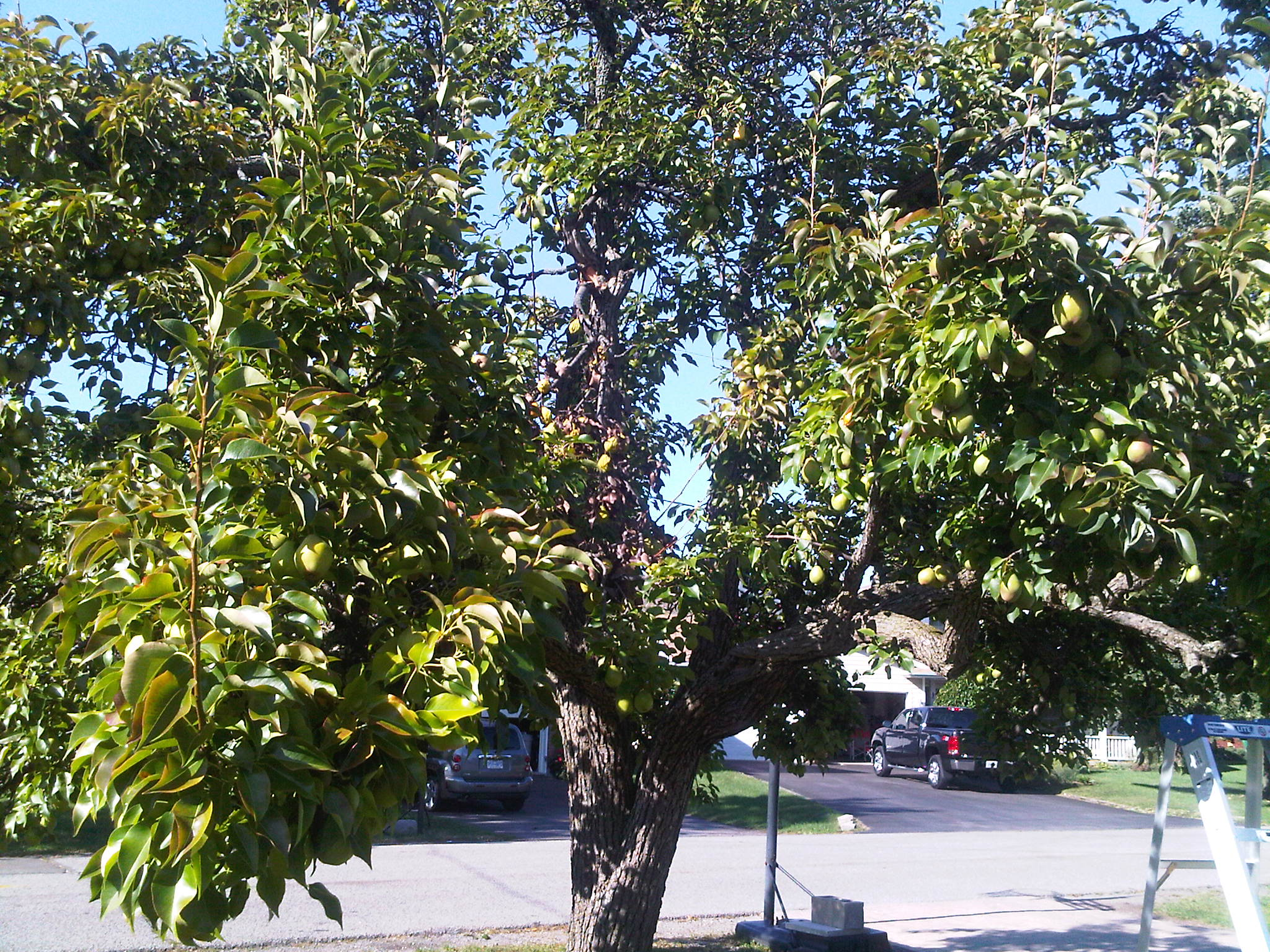 photo of a pear tree